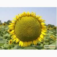 Пропонується насіння соняшника толерантний до Євро-Лайтнінгу.