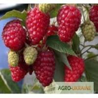 Доход с куста сорта малины Зюгана 100 гр