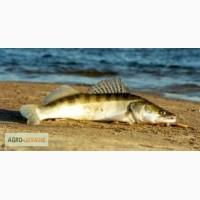 Свежая речная рыба. Судак оптом. Возмен экспорт