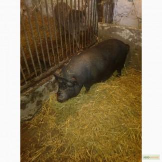 Продам мясо вєтнамської свині