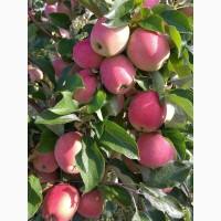 Продам школьное яблоко сорт Приам Цена 1.8 грн 5-7т