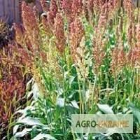 Семена Сорго зерновое и веничное. Продажа от 100 кг