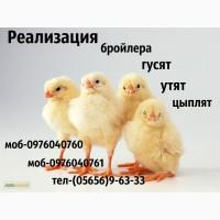Продам суточных цыплят бройлера Кобб-500, Росс-708, цыплят мясояичних пород Ред бро, мастер