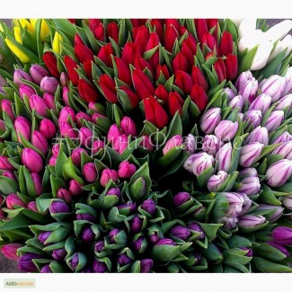 Тюльпаны к 8 марта 2018 из Голландии. Тюльпани до 8 березня