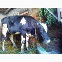 Продам теличку на корову