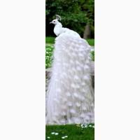 Продам павлинят королевских белых, черноплечих и голубых (индийских)