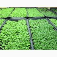 Табак Берли-21 семена 20грн-1гр(чайная ложка)