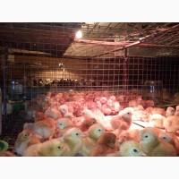 Курчата цыплята суточные и подросшие, яйцо инкубационное доминант D 107 D 959 D 159 D 104