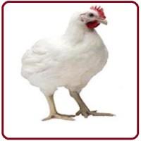 РОСС-308. Бройлер Яйцо. Продам инкубационные яйца, бройлер РОСС-308