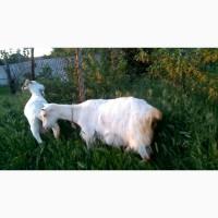 Козлик безрогий Зааненский белый - продам козла зааненской породы Николаев, Украина