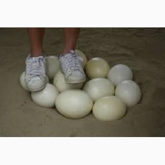 Продам яйцо страуса