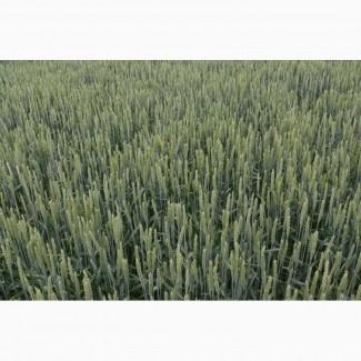 Продам насіння озимої м#039;якої пшениці сорт Селевіта