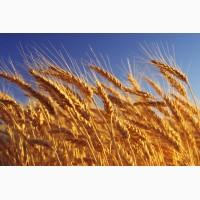 Куплю пшеницу, ячмень дорого. Урожай 2018 г