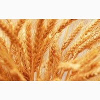 Озимая пшеница Сталева, семена (элита ) урожай 2020 г