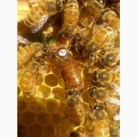 Продам бджоломатки Бакфаст та Карніка