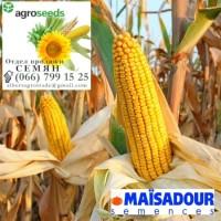 Гибрид кукурузы MADIVO. Агротрейд/Agroseeds