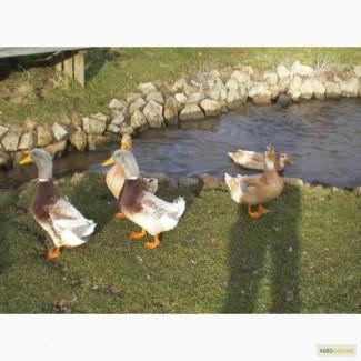 Утки породы Саксонская (Saxony Ducks)