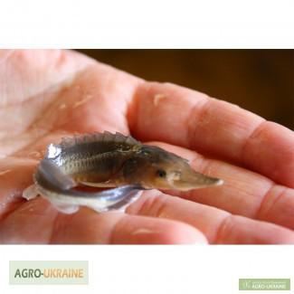 Предлагаем малька / зарыбок осетровых рыб: Бестера, Стерляди, Осетра