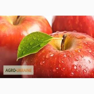 Яблоки Cортовые