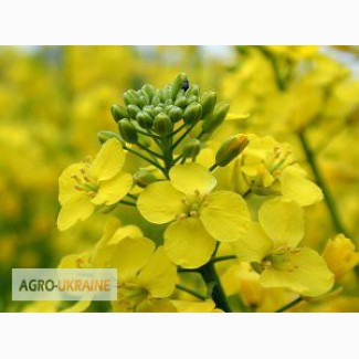 Семена озимого и ярового рапса от производителя NPZ-LEMBKE (НПЦ-Лембке)