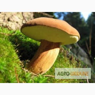 Купим сушеные грибы моховик