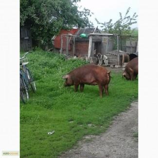 Продаю свиноматку датский дюрок первородка