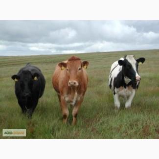Мясокомбинат закупает КРС( коров, быков, телок, коней) от хозяйств и населения
