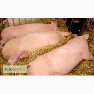 Продам свиней живым весом 120-130 кг