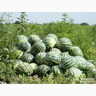 Продам семена Арбуза Астраханского, дешево, Одесская обл