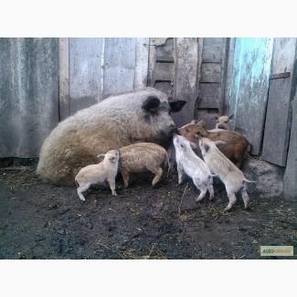 Свиноматки венгерської мангалиці