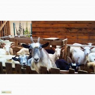 Козье молоко, брынза, сыр, творог, йогурт, сыворотка