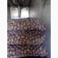 Продам Продовольственную картошку Гала, Сантэ, РэдСкарлет, Бриз, Манифест, Вектор, Скарб