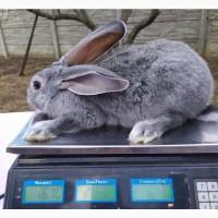 Продажа крольчат. Сірий велетень