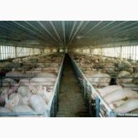 Продам свини