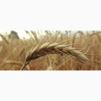Продам посевной материал озимой пшеницы Москвич элита