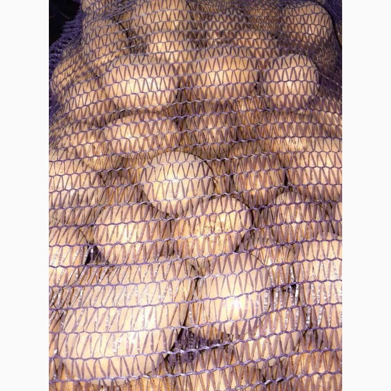 картошка сорт лимонка описание с фото что