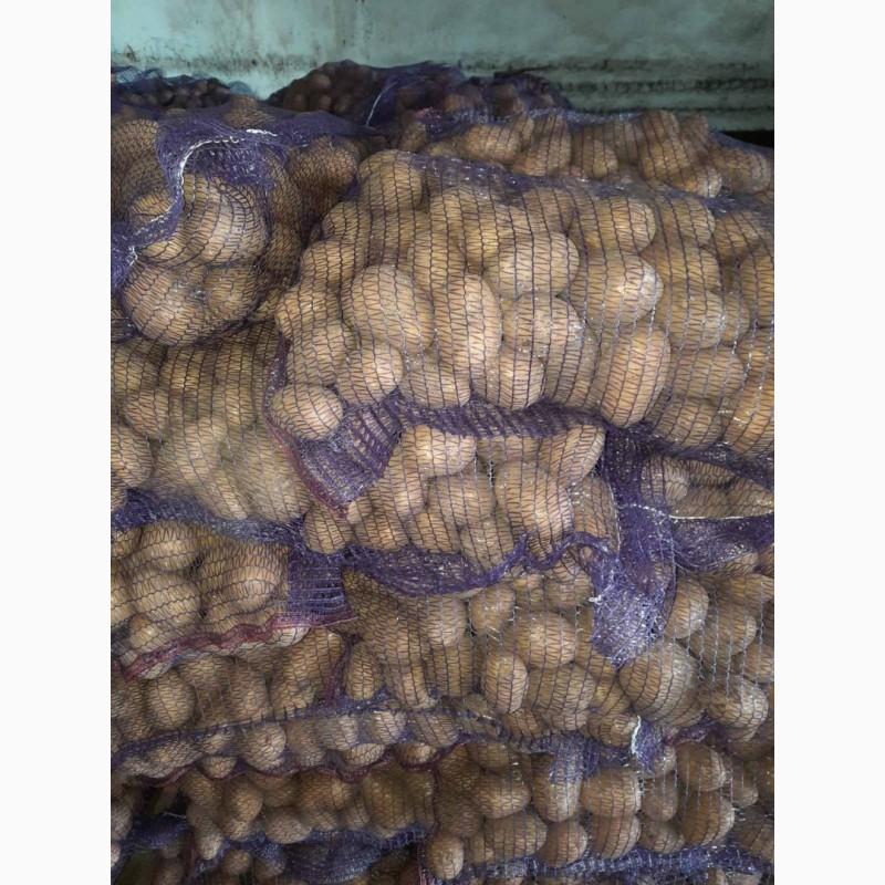 Сорта картофеля описание фото в беларуси