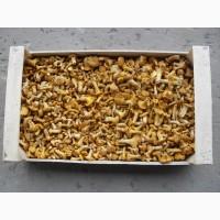 Куплю гриби - лисичка