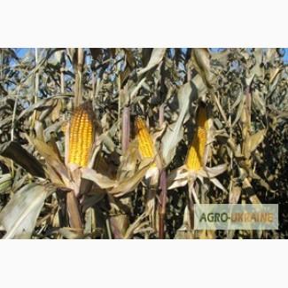 Продам насіння кукурудзи Гран 6