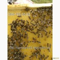 Пчелиные плодные матки молодые (меченые) карпатка