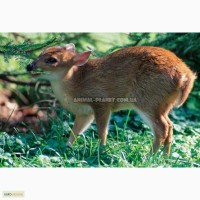 Олень индийский мунтжак (Muntiacus muntjak)