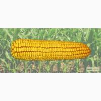 Гібрид кукурудзи Солонянський 298 СВ
