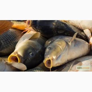 Продам живую рыбу (карп) навес 1, 200-1, 700 кг