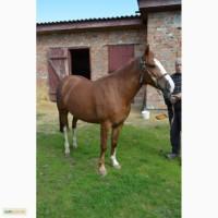 Продам коней (кобили)