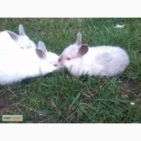 Кролики породы калифорния молодняк