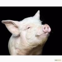 Продам Белых свиней