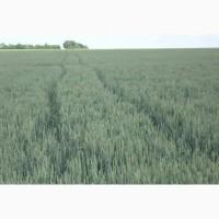 Продам канадскую озимую пшеницу lennox