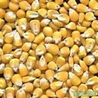 Закупаю кукурузу грн/$$$ ф1ф2