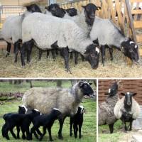 Племенных овец и баранов Романовской породы