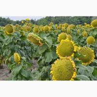 Продам насіння соняшника простих габридів (F1) ЛЮБАШ, ЯНИШ (оригінатор СЕМАНС Франція)